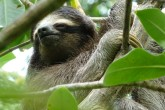Pygmy Three Toed Sloth Peter Sundbergweb
