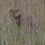 Friday Photo: Cheetah
