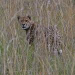 Friday Photo: Cheetah
