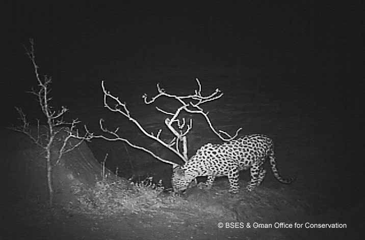 Arabian Leopard W960 H600