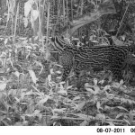 Friday Photo: Ocelot