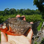Friday Photo: Red Bellied Piranah