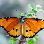 Citizen Science Challenge #7: Big Butterfly Count