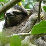 Fieldwork: Pygmy Sloths of Panama
