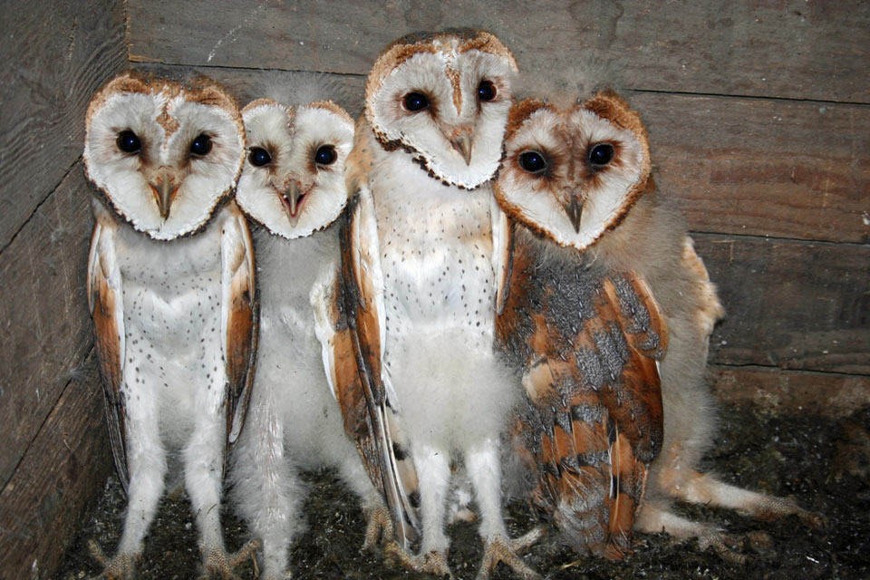 Very cute baby Barn Owls