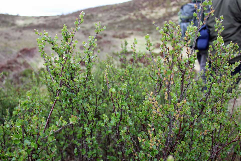 Dundreggan Birch