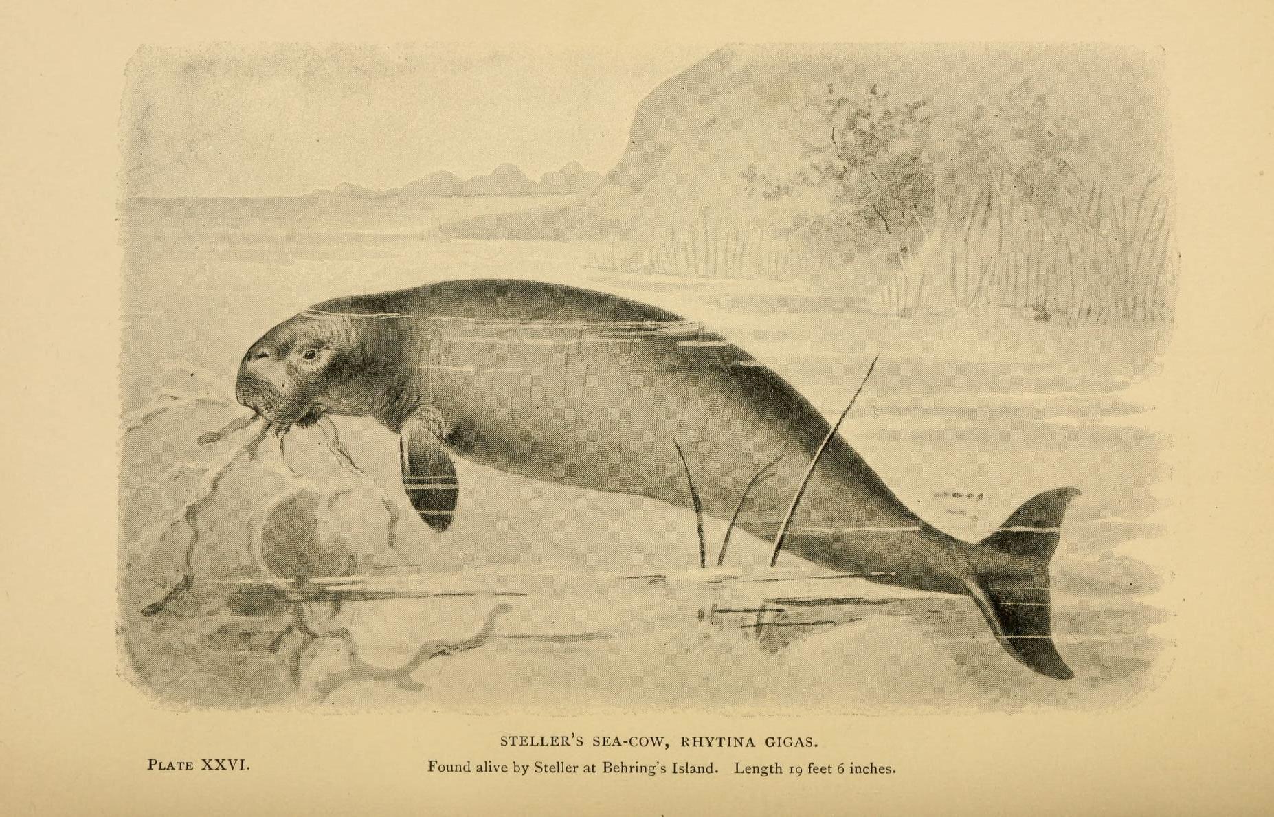 Stellers Sea Cow