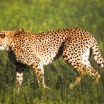Solving conflicts in cheetah country (with a little help from man's best friend)